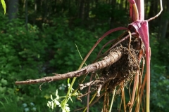 Sweet-cicely-roots