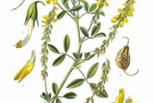Plant-Illustration-of-Sweet-Clover