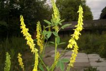 Flowers-of-Sweet-Clover