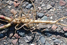 Root-of-Sweet-Clover