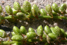 Seed-pods-of-Sweet-Clover
