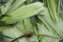 Husk-of-Sweet-corn