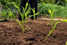 Sweet-corn-plants