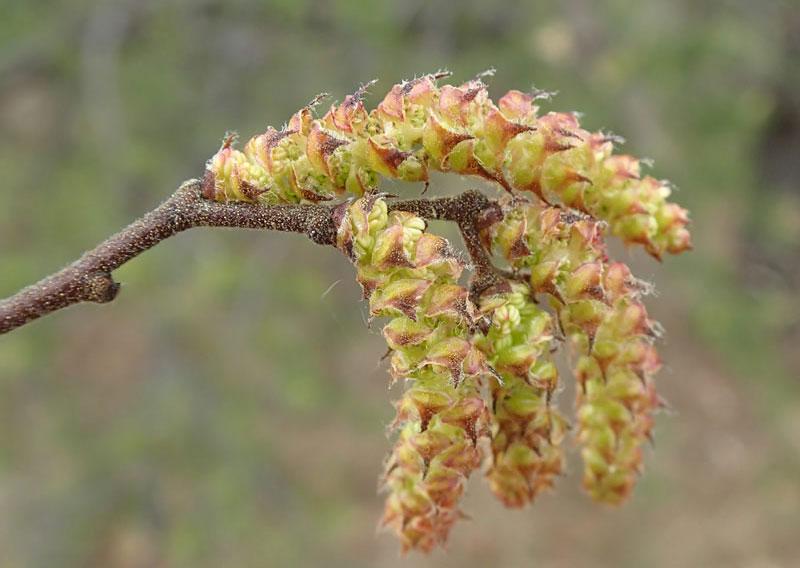 Flower-of-Sweet-Fern
