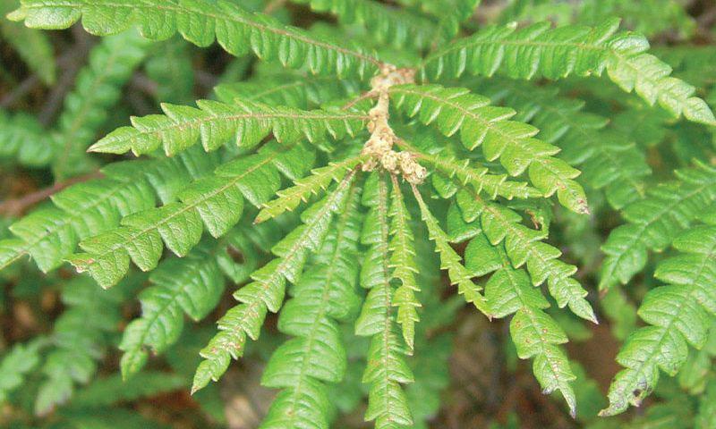 Leaves-of-Sweet-Fern