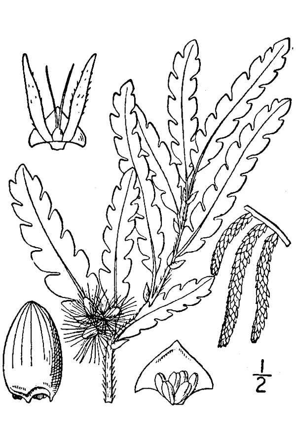 Plant-Illustration-of-Sweet-Fern