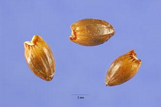 Seeds-of-Sweet-Fern