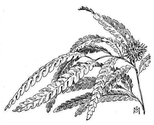 Sketch-of-Sweet-Fern