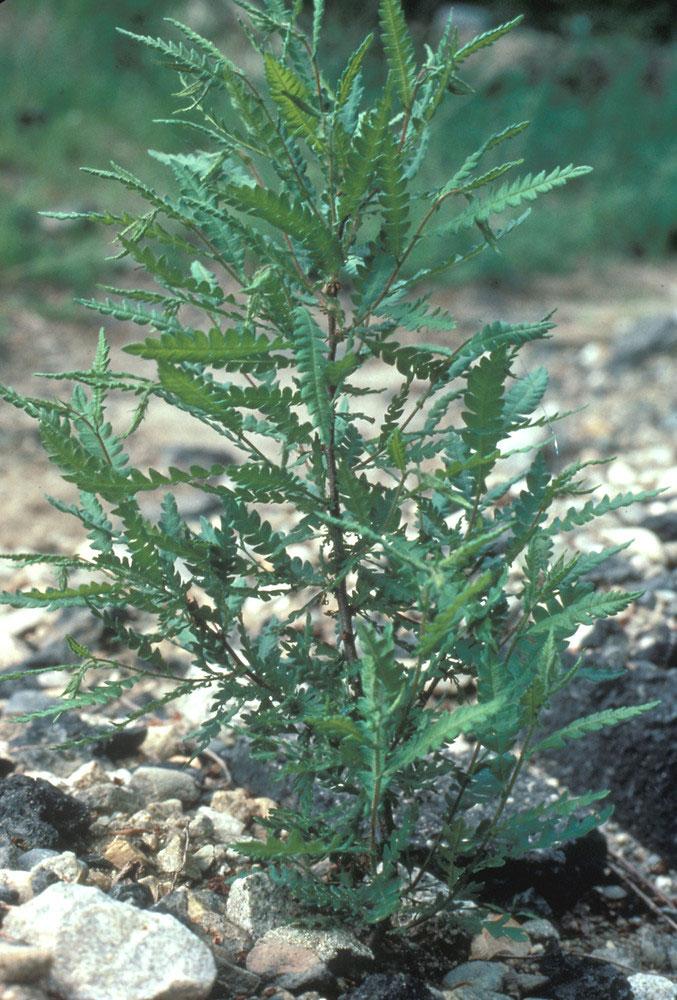 Sweet-Fern-Plant