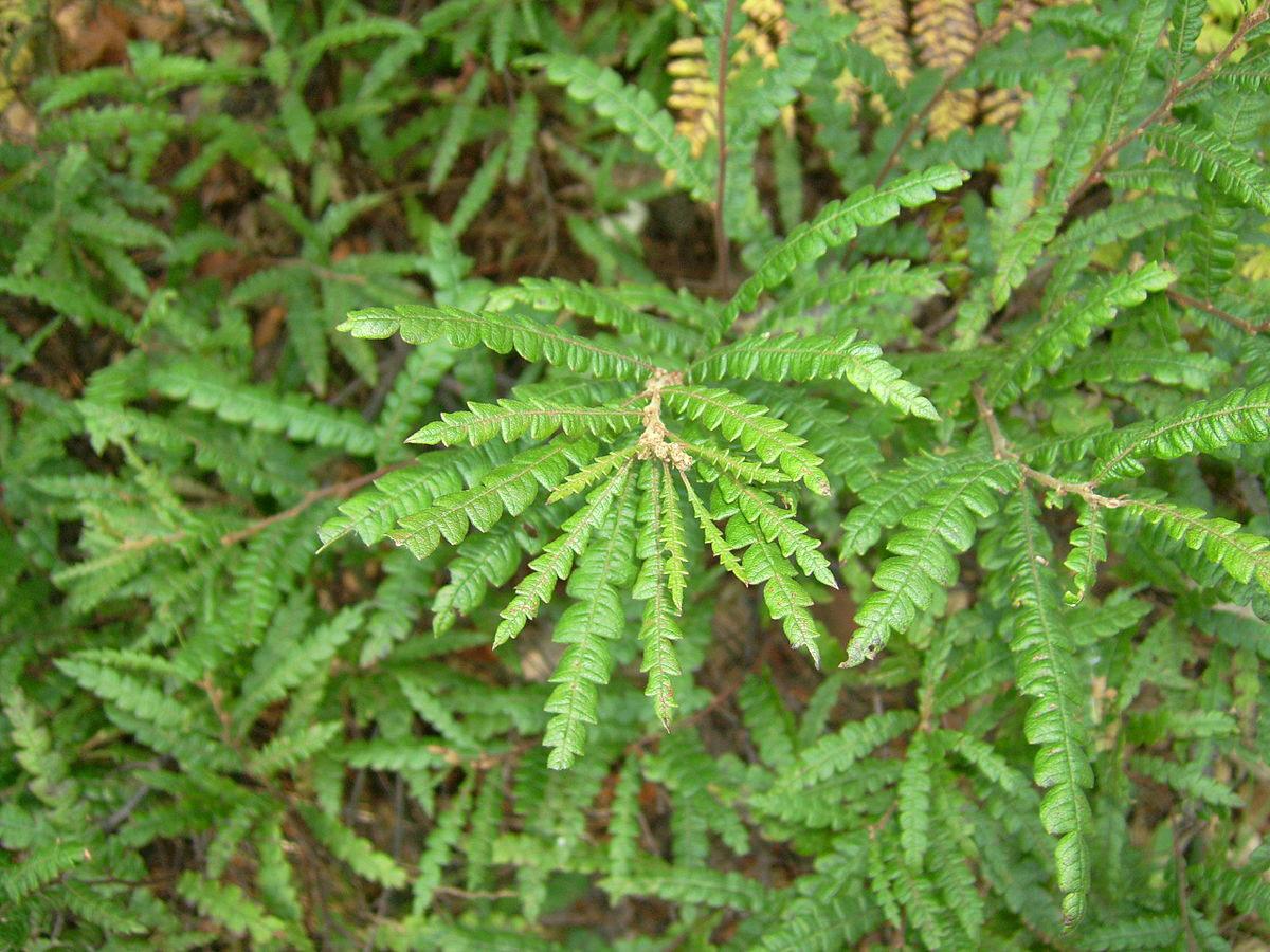 Sweet-Fern-plant-growing-wild