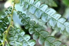 Closer-view-of-leaves-of-Sweet-Fern
