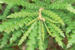 Leaves-of-Sweet-Fern