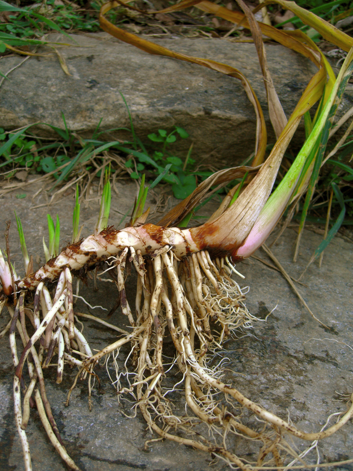 Plant-Showing-root-&-rhizomes-of-Sweet-Flag