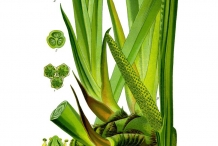 Plant-Illustration-of-Sweet-Flag