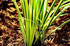 Sweet-Flag-plant