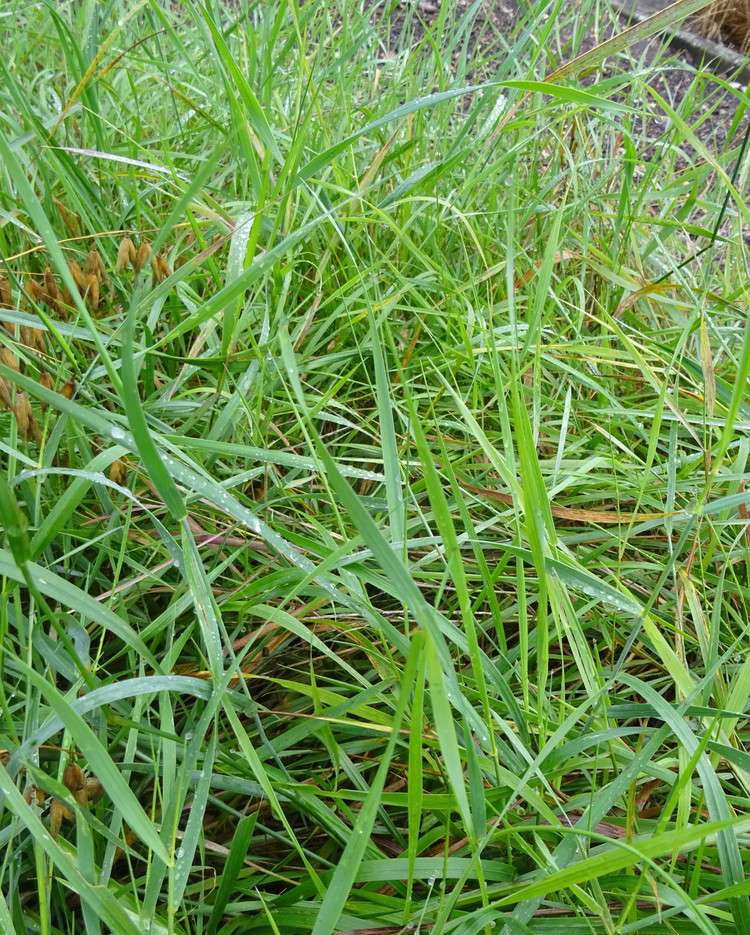 Leaves-of-Sweet-Grass