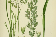 Plant-illustration-of-Sweet-Grass