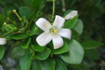 Close-up-flower-of-Sweet-lime