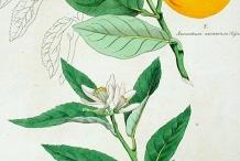 Illustration-of-Sweet-lime