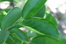 Leaves-of-Sweet-lime