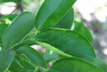 Leaves-of-Sweet-lime