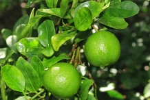 Sweet-lime-fruit