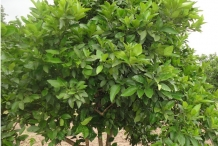Sweet-lime-tree