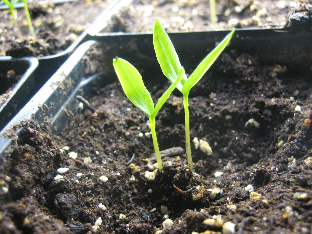 Seedlings-of-Sweet-pepper
