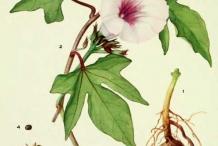 Plant-illustration-of-Sweet-potato