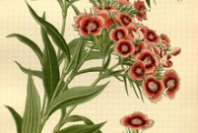 Plant-Illustration-of-Sweet-William