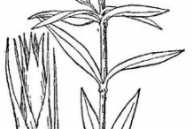 Sketch-of-Sweet-William-plant