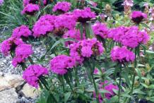 Sweet-William-Plant