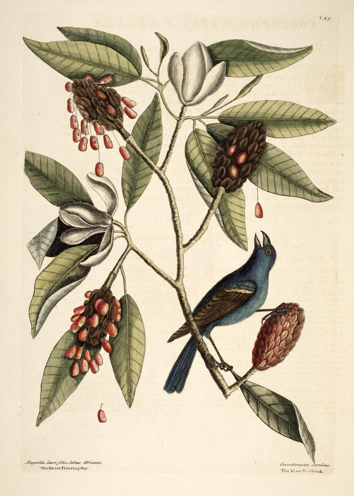 Plant-illustration-of-Sweetbay