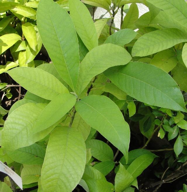 Sweetbay-leaves
