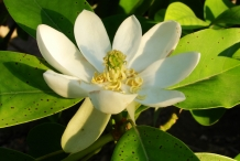 Flower-of-Sweetbay