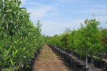 Sweetbay-plantation