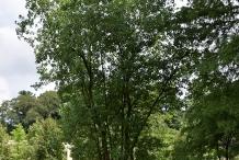 Sweetbay-tree