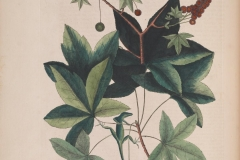 Plant-illustration-of-Sweetgum