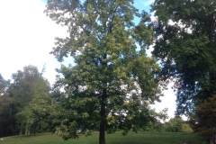 Sweetgum-tree