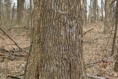 Sweetgum-trunk