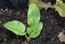 Seedlings-of-Swiss-chard