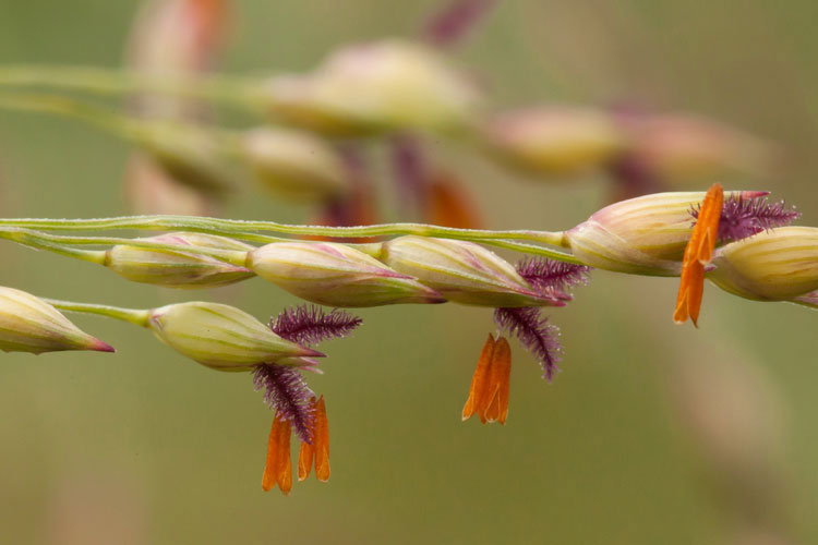 Flowers-of-Switch-Grass