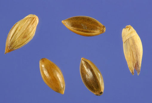 Seeds-of-Switch-Grass