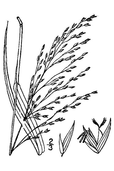 Sketch-of-Switch-Grass