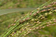 Immature-fruits-of-Switch-Grass