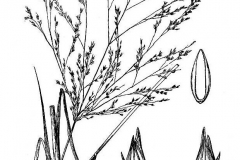 Plant-Illustration-of-Switch-Grass