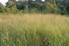 Switch-Grass-growing-wild
