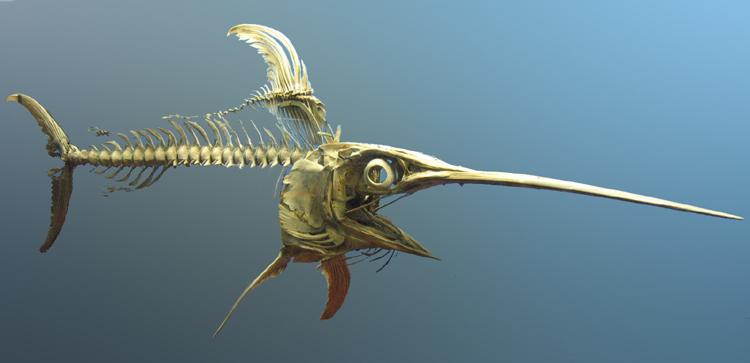 Swordfish-skeleton