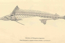 Illustration-of-Swordfish-skeleton