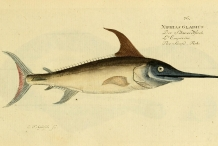 Illustration-of-Swordfish